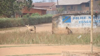Goats Next To Congolese Flag