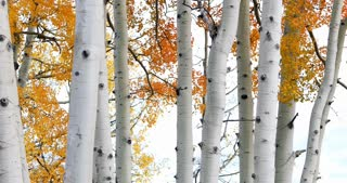 Golden Autumn Aspen Trees Fall Foliage Fluttering