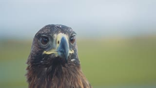 Golden Eagle Looks Around