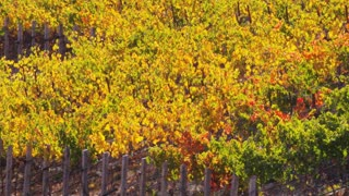 Golden Napa Valley Autumn