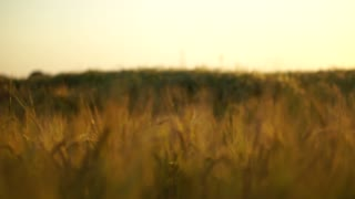 Golden spikes on summer sunset field. Steadicam shallow focus shot