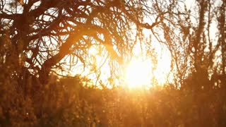Golden Sun Shining Through Desert Tree Branches