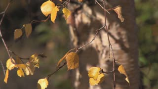 Golden Yellow Birch Leaves