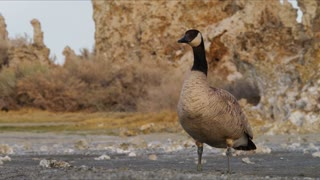 Goose On Mono Lake Shore