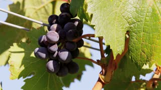 Grape Close Up with Wind