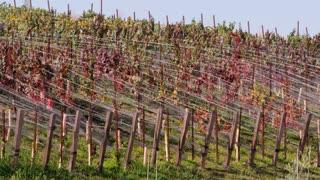Grape Vine Hillsides