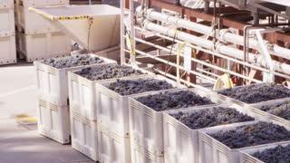 Grapes In Bins