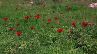 Grass with Red Flowers