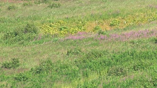 Grasses and Blooming Fireweed on Windy Hillside