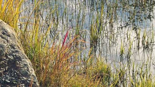 Grasses and Rock in Reflective Water