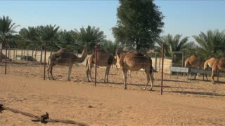 Grazing Camels Behind Fence