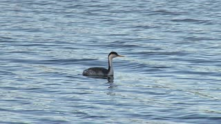 Grebe Floating and Swimming in Water