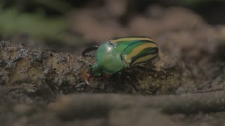 Green and yellow beetle close up