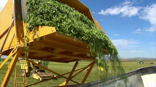 Green Beans Are Loaded Into Semi Truck
