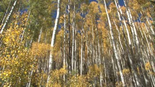 Green Hued Trees of Aspen