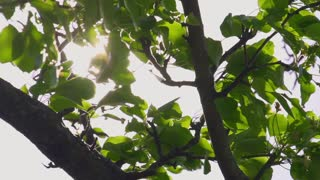 Green leaves on the tree brunch in front of a sky with sun shining through, swaying with the wind. Dolly shot. Slow Motion 240 fps. HD 1920x1080. Beauty of nature concept.