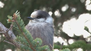 Grey Jay on Tree Branches