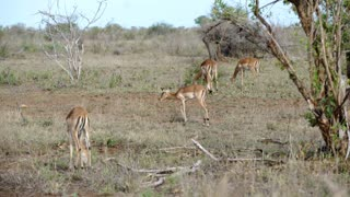 Group impalas in Kruger National Park South Africa