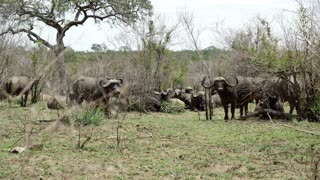 Group of african buffaloes in Kruger National Park South Africa