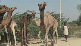 Group of Camels in Rajasthan