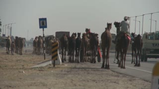 Group of Camels Walking Next to the Road in Rajasthan