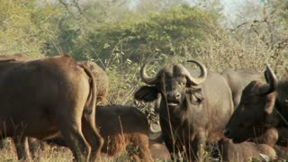 Group Of Cape Buffalo 2