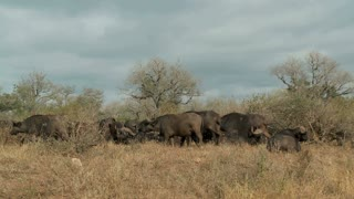 Group Of Cape Buffalo 3