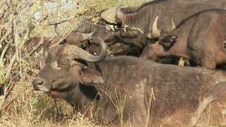 Group Of Cape Buffalo