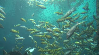 Groupd of Fish Swimming Near Surface 1