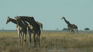 Group Of Giraffes 2