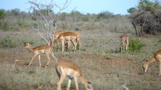 Group of impalas in Kruger National Park South Africa