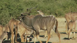 Group Of Kudu