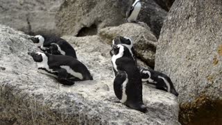 Group of Penguins at boulders beach in the Cape Peninsula South Africa