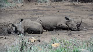 Group rhinos sleeping in a dry waterpool with the young one standing up in hluhluwe imfolozi park South Africa