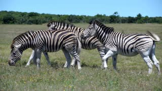 Group zebras in Addo Elephant National Park South Africa
