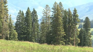 Grouping Of Tall Pine Trees