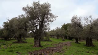 Grove of Olive Trees 2