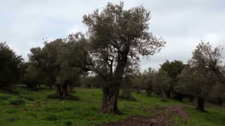Grove of Olive Trees 3