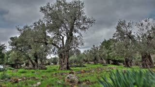Grove of Olive Trees 4