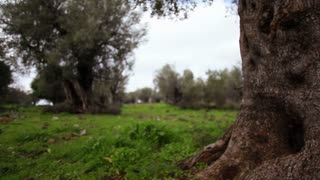 Grove of Olive Trees 5