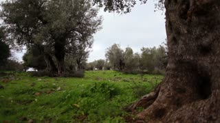 Grove of Olive Trees