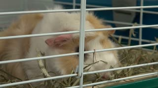 Guinea Pig Eating Straw