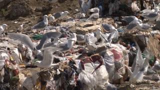 Gulls At Dump