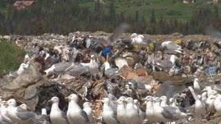Gulls In Waste