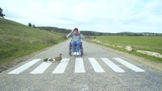Handicapped man in a wheelchair look at mother duck and ducklings crossing the road on the white lines