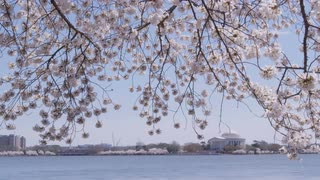 Hanging cherry blossom branches with Jefferson Memorial in distance, Washington, DC