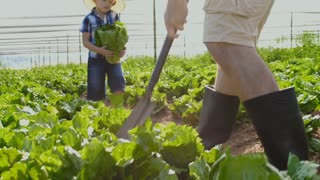 Happy son showing farming father the big organic lettuce on their farm.