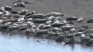 Harbor Seals Basking on Sand Near Waters Edge