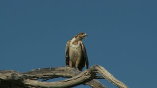 Hawk On Tree Branch