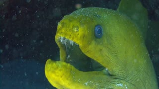 Head of Big Yellow Eel